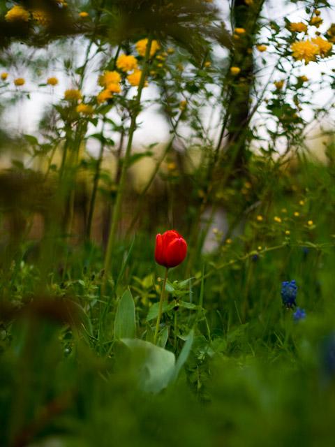 lonley_tulip.jpg