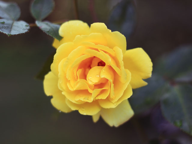 yellow_rose.jpg