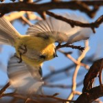 Tit bird flying 1